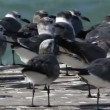 A flock of laughing gulls on  a pier in ria largartos - Stock Photo