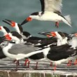 A large flock of black skimmer birds in ria largartos, mexico - Stock Photo