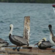 Brown pelicans and other birdlife at ria largartos, mexico - Stock Photo