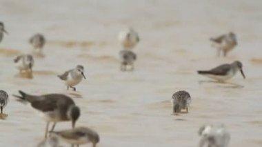 Gregge di uccello piccolo bordo in ria largartos — Video Stock