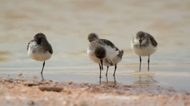 Flock of small bird in the waters edge in ria largartos — Stock Video