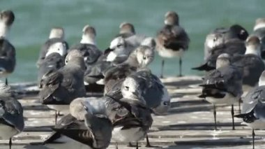 A flock of laughing gulls on a pier in ria largartos — Stock Video