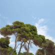 Clouds in the sky shot through pine trees moving gently in the wind — Stock Video #17888929