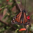 The amazing monarch butterfly sanctuary in mexico - Stock Photo