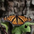 The amazing monarch butterfly sanctuary in mexico — Stock Video #18003405
