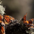 The amazing monarch butterfly sanctuary in mexico — Stock Video #18003589