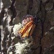 The amazing monarch butterfly sanctuary in mexico — Stock Video #18006849