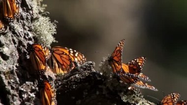 The amazing monarch butterfly sanctuary in mexico — Stock Video