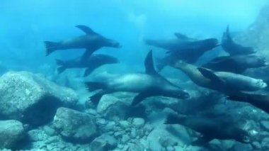 Underwater shots of sea lions — Stock Video