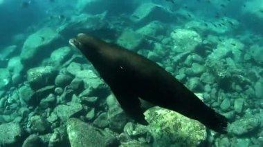 Underwater shots of sea lions — Stock Video