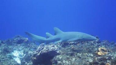 A shark filmed underwater whilst scuba diving — Stock Video
