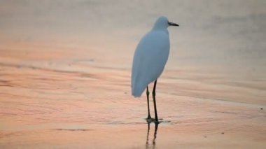 Great White Egret by the water's edge at sunrise — Stock Video
