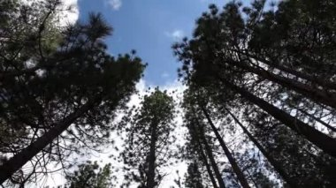 Timelapse looking up through tall trees to the sky — Stock Video