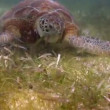 The loggerhead turtle filmed underwater in mexico - Stock Photo