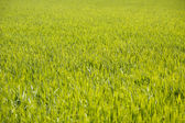 Field green rice seedlings background — Stock Photo