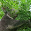 Adult koala bear turning head and looking around while perched on tree. — Stock Video #14460625