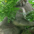 Adult koala bear turning head and looking around while perched on tree. — Stock Video
