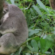 Adult koala bear turning head and looking around while perched on tree. — Stock Video #14462953