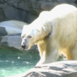 Stock Video: Polar Bear Shaking Off Water