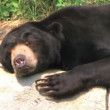Sun Bear Scratching Head — Stock Video