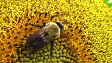 Bumble Bee on Sunflower — Stock Video
