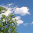 Stock Video: Tree with Clouds Time Lapse