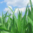 Stock Video: Corn Against Sky