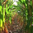 Stock Video: Corn Row Zoom