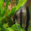 Angelfish in Aquarium  — Stock Video