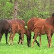 Stock Video: Foal Nursing