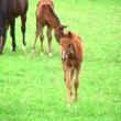 Foal Nursing — Stock Video #14493901