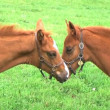 Foal Nursing — Stock Video