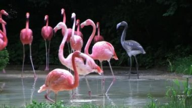 American Flamingo Walking — Stock Video