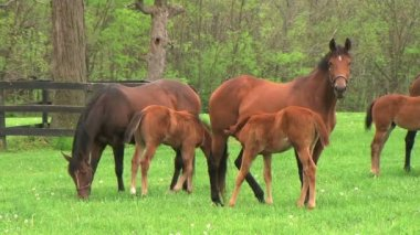 Foal Nursing — Stock Video