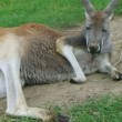 Stock Video: Kangaroo Laying Down And Sleeping