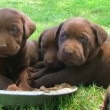 Stock Video: Litter Of Curious Puppies