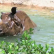 Rhinoceros Bathing — Stock Video #14541473