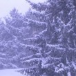 Trees in Snowstorm - Stock Photo
