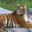 Siberian Tiger Alerted by Prey - Stock Photo