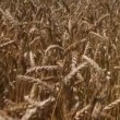 Stock Video: Traveling Through Wheat Field