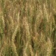 Stock Video: Golden Wheat Field