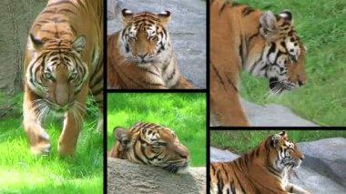 Composito di tigre siberiana — Video Stock