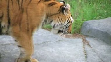 Tiger Rests On Rock — Stock Video