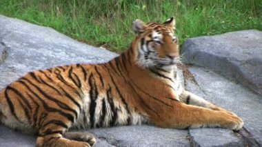 Siberian Tiger Alerted by Prey — Stock Video