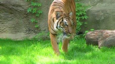 Tiger Walking In Grass — Stock Video