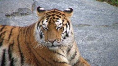 Siberian Tiger Yawning — Stock Video