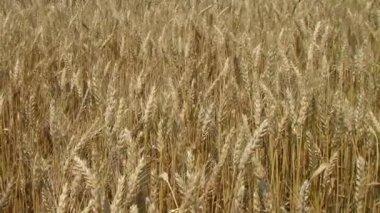 Golden Wheat Field — Stock Video