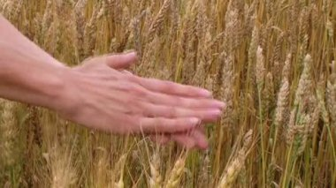 Hand Sifting Wheat — Stock Video