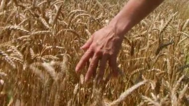 Hand In Wheat Field — Stock Video