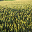 Wheatfield in ripening stage — Stock Photo